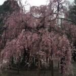 桜(神社)