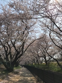 桜2018(1)