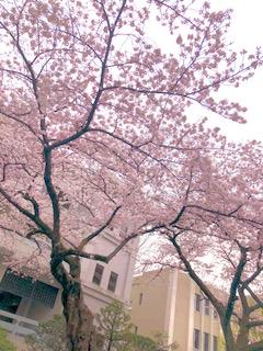 桜 '19
